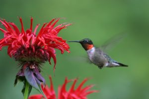 Hummingbirds @ Plainfield | Indiana | United States