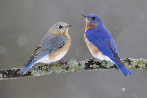 Guest Speaker Spotlight: Bluebird Basics @ McCloud Nature Park | North Salem | Indiana | United States