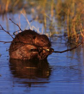 Nature's Engineer: The Beaver @ Plainfield | Indiana | United States