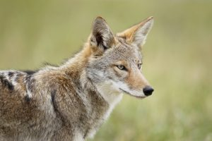Living with Coyotes @ McCloud Nature Park